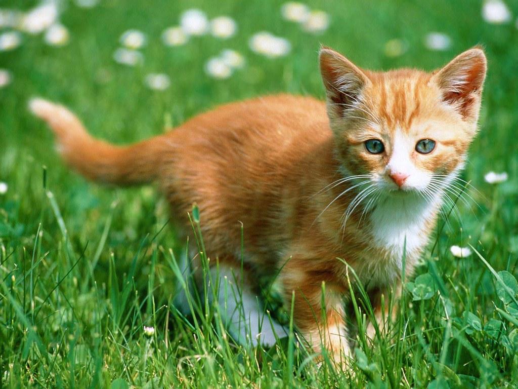 New Update Cute Ginger Cat Hd Wallpapers Hdwallpapersazco