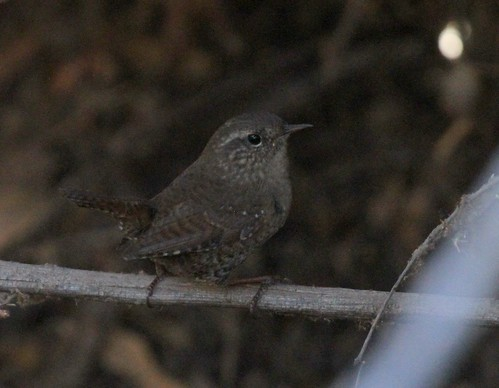 Winter/Pacific Wren