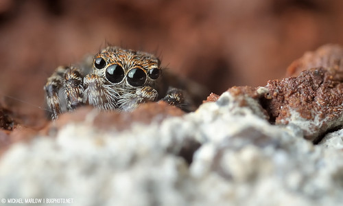 Is it safe to come out yet? (Sitticus pubescens jumping spider)