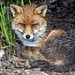 Young Fox Resting