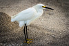 Snowy Egret, the most elegant of birds.
