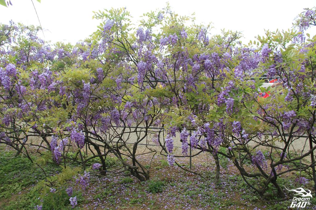 淡水紫藤咖啡園18