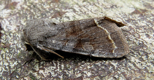 Clouded Drab Orthosia incerta Tophill Low NR, East Yorkshire April 2015