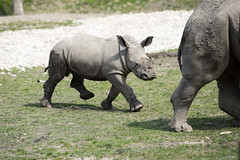 animal, zoo, rhinoceros, fauna, safari, wildlife,