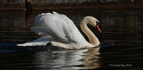 Satisfied swan