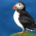 Puffin Portrait by Beckles Creations