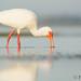 White ibis feeding in a tidal pool by Pat Ulrich