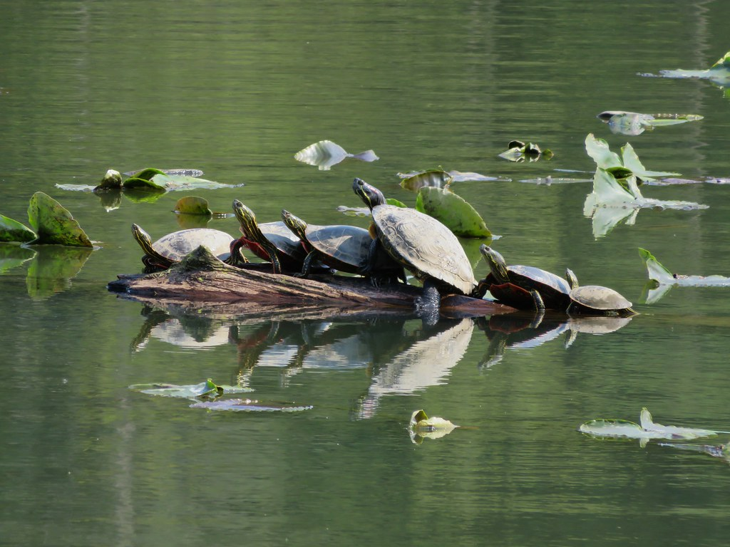 Turtles at Lacamas Lake