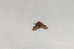 Euteliidae