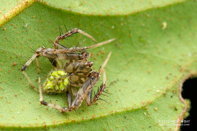 Orb web spider (Eriovixia sp.) - DSC_4403