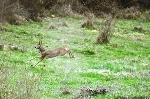 Morning deer running away from paparazzo
