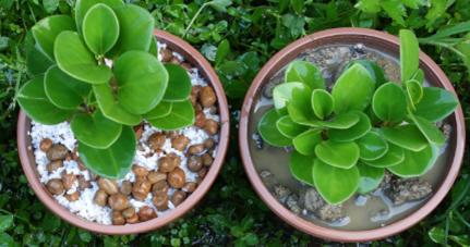 左盆栽澆水後滲透入土,右盆栽則形成逕流,圖片由peterman167提供。