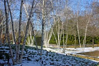 CBG white birches, white snow