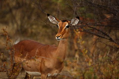 antelope(0.0), kudu(0.0), bongo(0.0), animal(1.0), deer(1.0), fauna(1.0), white-tailed deer(1.0), wildlife(1.0),