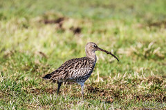 Eurasian Curlew searching for food