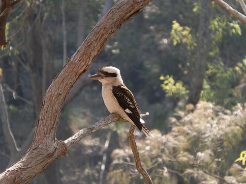 Kookaburra at Mt Barney, Scenic Rim