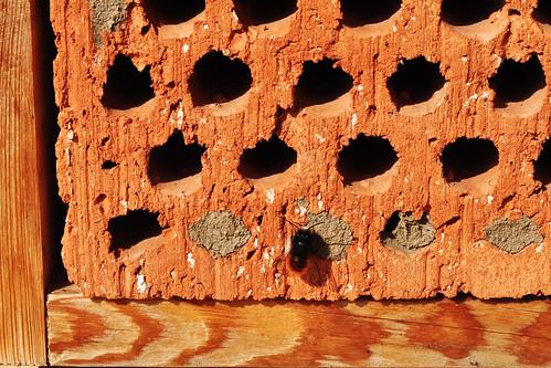 Insektenhotel Wildbienenhotel Mauerbiene rote schlüpfen Nest knabbern Foto Brigitte Stolle