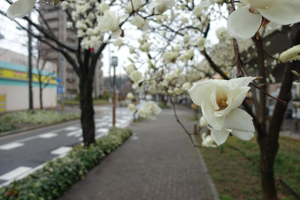 The flower in commuting (magnolia) 2015/03 No.4.