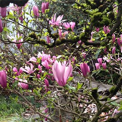 flower, garden, magnolia, wildflower, flora, cyclamen,