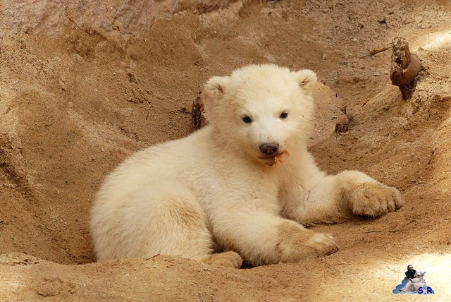 Eisbär Nachwuchs Zoo Rostock 30.03.2015  161