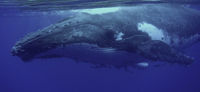 a young male humpback whale
