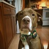He's not #Irish by nature, but my nurture. #PitBull #StPaddys #StPattys #Coors #Baileys #dogsofinstagram