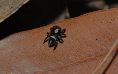 leaf litter jumping spiders: ID?
