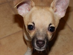 dog breed, chihuahua, animal, dog, pet, snout, italian greyhound, carnivoran,