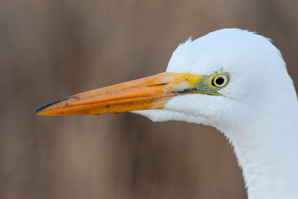 Close-up view of a great egret's face