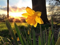 Hello Spring #daffodil #sun #sunshine #sunset #spring #beautiful #yellow #flower #holtspur #breeze #sky #skyporn #getbucks #bucks #buckinghamshire #love #nature