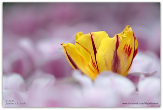 Tulipmania 2015 Floral Display, Singapore