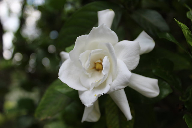 Our first gardenia of the season!