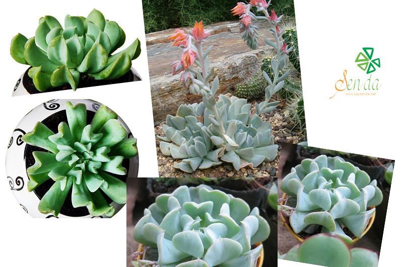caysenda.com | sen da | xuong rong | tieu canh sen da | art plant | terrarium | sen cuc