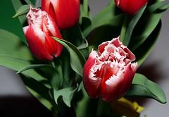 peony(0.0), tulip(1.0), flower(1.0), red(1.0), plant(1.0), flora(1.0), petal(1.0),