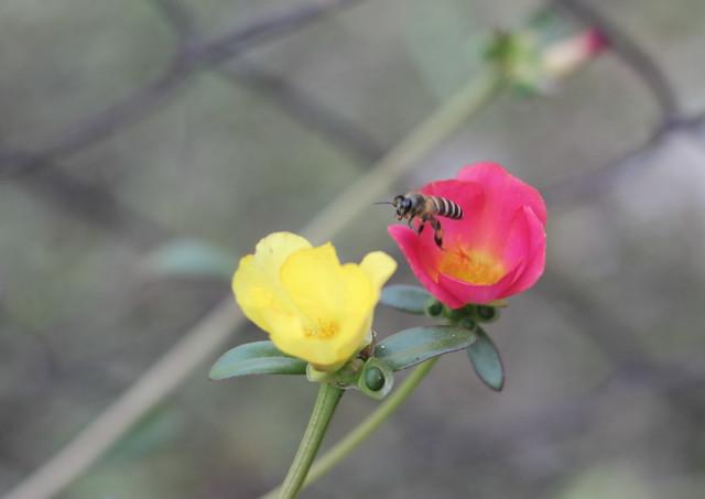 lebah  terbang