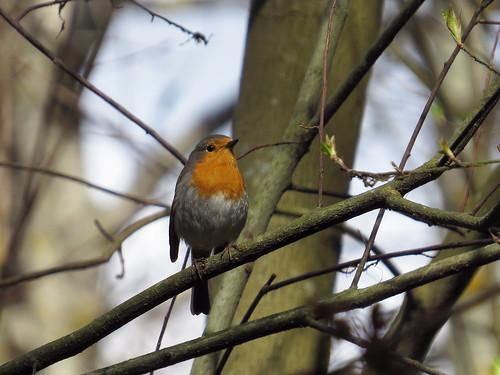 Заря́нка — птица из семейства мухоловковых. Википедия  Photo by Kari Pihlaviita on Flickr Автор фото: Kari Pihlaviita