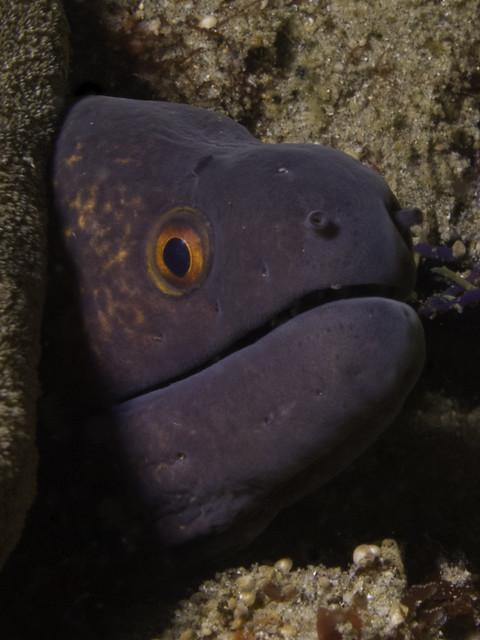Giant moray - <i>Gymnothorax javanicus</i>