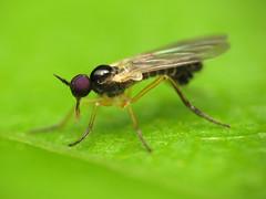 Little Dance Fly