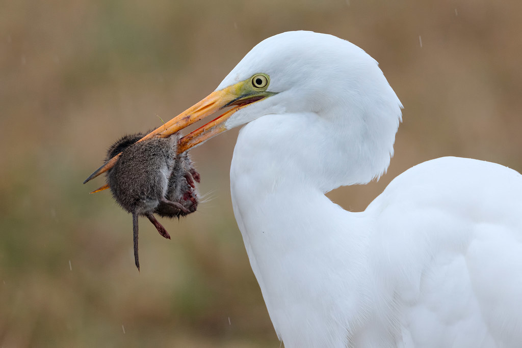A great egret holds a Townsend's vole in its beak as it prepares to eat it