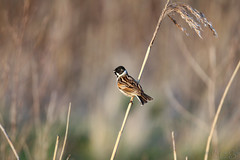 Reed Bunting hanging on