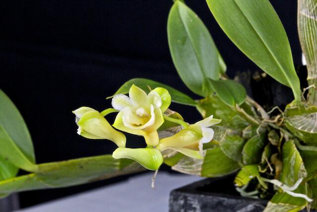 Dendrobium lamellatum 16625979679_66f5e18af7_z