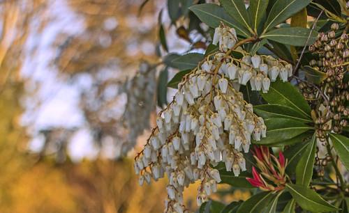 plant nature oregon sunrise shrub pierisjaponica walnuthill
