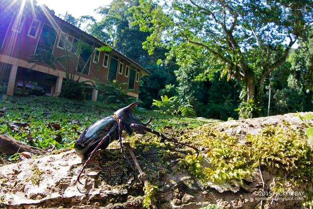 Rhino beetle (Dynastinae) - DSC_5418