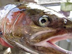 marine biology(0.0), recreational fishing(0.0), red seabream(0.0), milkfish(0.0), animal(1.0), trout(1.0), fish(1.0), fish(1.0), seafood(1.0), food(1.0), close-up(1.0),
