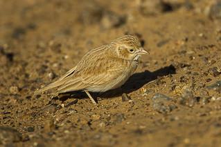 Desert Lark - Marocco 07_3548