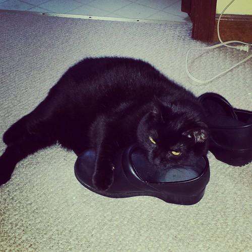 Julio enjoying the wife's stinky shoes. Weird cat. #CatsOfInstagram #Julio