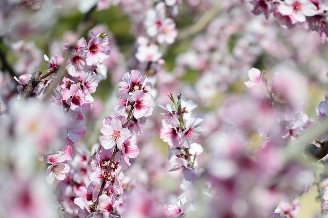 アーモンドの花  Almond blossoms