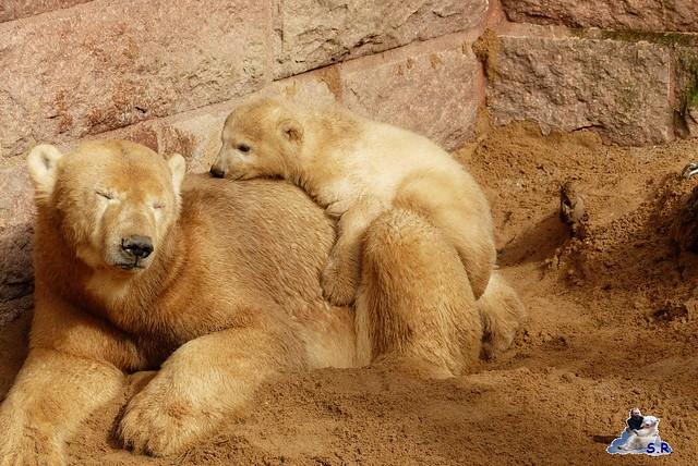 Eisbär Nachwuchs Zoo Rostock 30.03.2015  52