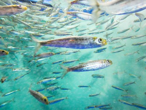 Shinagawa Aquarium: Sardine