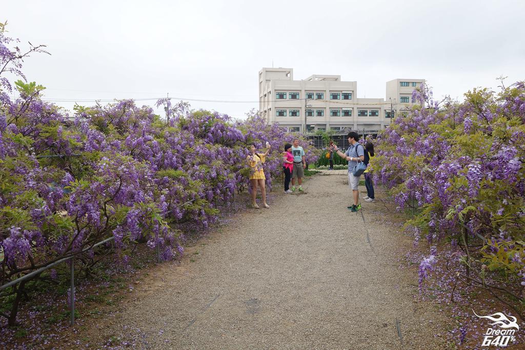 淡水紫藤咖啡園08